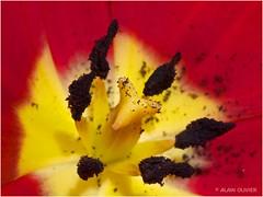 Pistil de tulipe