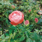 ハックルベリーフィン花