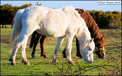 White Horse and Companion (dark-dawud) Tags: england horses white docks mouth back eyes tail ears hampshire crest elbow cannon knee hoof mammals equestrian nomansland grazing whitehorse poll equine mane muzzle hock wildanimals flank croup withers fetlock pastern ringwoodcommon