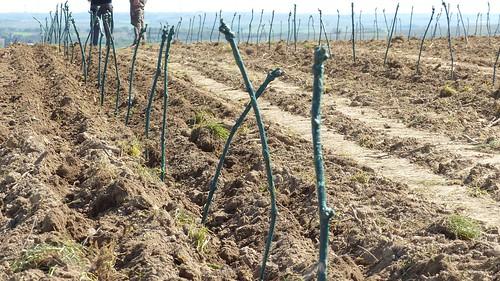 Setzen von Rebpfropfen im Weinberg
