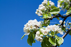 Pear blossom on light blue sky background (victoria.kondysenko) Tags: life blue sky sun sunlight white plant flower color macro tree green nature beauty yellow closeup garden season insect outdoors flying spring flora focus branch bright blossom gardening vibrant wing scenic may petal bee honey pear bloom april backgrounds nectar bud pollen freshness selective blooming pollination fragility