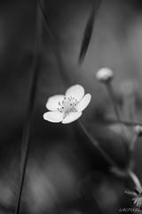 La fleur du fraisier (LACPIXEL) Tags: blackandwhite naturaleza flower macro blancoynegro nature fleur forest strawberry nikon flickr noiretblanc flor bosque fx fort fraise fresa d4s nikonfrance lacpixel
