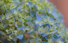 May Brings the Blues (Gabriel FW Koch) Tags: flowers blue sunlight macro green yellow closeup canon garden eos spring bush dof blossom naturallight 100mm buds hydrangea blooming