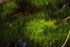Kleines Moos, ganz gro; Schwabstedt-Hollbllhuus, Wildes Moor (30) (Chironius) Tags: germany deutschland pantano peat swamp bottoms alemania marsh grn moor bog marais allemagne germania schleswigholstein sump ogie sumpf pomie  sphagnum schwabstedt nordfriesland niemcy bryophyta tourbire sphagnaceae   turbera sphagnopsida sphagnales pomienie laubmoose marcageuse szlezwigholsztyn torfmoose sphagnophytina