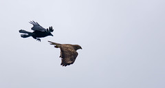 2/5 Common Buzzard & Carrion Crow (abritinquint Natural Photography) Tags: wild bird nature germany fly fight nikon natural wildlife flight attack 300mm telephoto crow carrion buzzard nikkor f4 vogel pf tc14eii 300mmf4 commonbuzzard teleconvertor bussard d7200 pfedvr