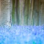 Bluebells #4