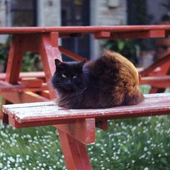 Sissi, di sera. (GiannLui) Tags: black cat voigtlander nera sissi gatta vitoc