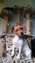 Lily standing guard.... (wazzle1) Tags: cats dogs kittens terrier jackrussell