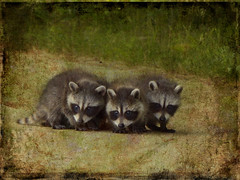 Let's just back up slowly (Ferb's Pics) Tags: baby texture animals critters raccoons magicunicornverybest