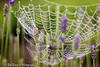 20160604_4293_Spinnenweb (Rob_Boon) Tags: macro spin spinnenweb waterdruppel robboon