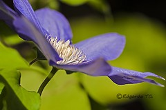 ...Y tambin pienso..._DSC3615 (edgardotc) Tags: flowers flores macro hana murakami violeta suma japn lucymontgomery sonya700 edgardotc edgardojpn edgardotejadacueva