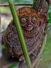 Tarsier in the Trees (Fong Lim) Tags: travel macro nature canon island photography photos wildlife philippines bohol dslr primate ef lim tarsier 100m fong philippine f28l 60d