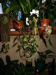 Angraecum erectum species orchid, 1st bloom  4-16* (nolehace) Tags: spring nolehace 416 fz35 angraecum erectum species orchid 1st flower bloom plant outdoor sanfrancisco