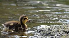 Little Adventurer (done by deb) Tags: ducks ducklings mallard waterfowl