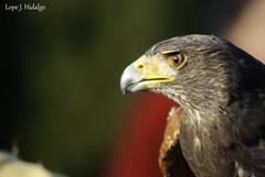 Aguila Harris (Lope J. Hidlago) Tags: sevilla aves workshop aguila italica buho 2016 rapaces photoquivir