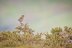 Stonechat (female) (ABPhotosUK) Tags: birds animals canon wildlife devon dartmoor teleconverter stonechat highdown chatsandthrushes ef14xextenderiii eos7dmarkii ef100400mmisii