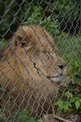 IMG_8230 (whereisjulie?) Tags: rescue tiger lion carolina cougar ocelot serval caracal kinkajou