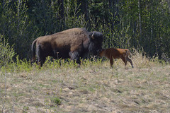 A MOTHER'S LOVE  -  (Selected by GETTY IMAGES) (DESPITE STRAIGHT LINES) Tags: canada buffalo nikon flickr britishcolumbia getty bison gettyimages alaskahighway d800 americanbison paulwilliams liardhotsprings nikon2470mm nikkor2470mm nikond800 nikongp1 bisonandcalf despitestraightlines despitestraightlinesatgettyimages gettyimagesesp bisonandherbaby bullwoodbison