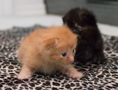 IMG_9450 (jaglazier) Tags: usa cats playing cute animals babies unitedstates tiger may indiana kittens siblings bloomington mammals blackie 2016 52416 copyright2016jamesaglazierandjamesaferguson