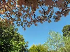 04May16 Looking Up (Daisy Waring World) Tags: trees sky garden bluesky