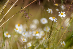 Fhl den Sommer.. | ..Feel the Summer (Sorgenfred) Tags: flowers summer plants green nature field grass daylight sommer natur blossoms feld meadow wiese gras marguerite grn tageslicht kamille leben acre acker blten welt summerday camomile margerite sommertag