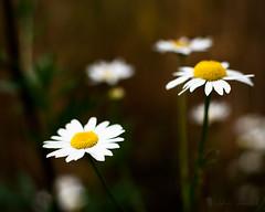 Matricaria chamomilla (iEiEi) Tags: plant flower closeup nikon dof blossom outdoor pflanze depthoffield nikkor blume blte nahaufnahme schrfentiefe d300 nikond300 ausenaufnahme 35mmf18g ieiei