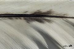 plume (johandevantoy) Tags: france macro de noir un poule blanc comme leger plume