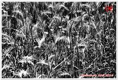 Variations sur les bls 06 (voyageursdumonde1) Tags: nature fleurs bl crales salaisesursanne france2016