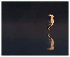 la pose... (guiguid45) Tags: bird nature nikon ardeacinerea oiseaux étang sauvage greyheron loiret héroncendré 500mmf4 d810