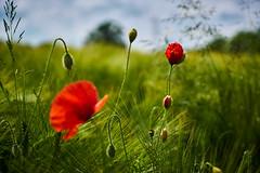 poppy on a barley field (CHCaptures) Tags: red flower rot nature field barley bokeh outdoor feld poppy grn blume mohn gerste sonyilce7 sel2470z