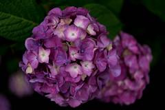 -204 (Mio:D) Tags: flower hydrangea  ise