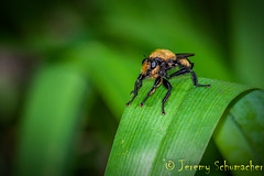 Bumblebee Mimic Robber Fly (Jeremy Schumacher) Tags: nature animal insect fly illinois nikon wildlife bumblebee mimic robber arthropod spp laphria d5000