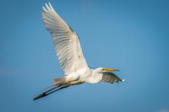 Great Egret (PhillymanPete) Tags: summer bird philadelphia nature fly us nikon unitedstates pennsylvania wildlife flight egret heinz greategret tinicum johnheinznwr d7200