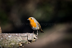 (W4115y) Tags: nature robin birds animal animals ian nikon wildlife sigma walls 3200 northeast northyorkshire wildfowl nikond3200 lowbarns d3200 sigma150600mm ianwalls w4115y
