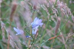 soir de juin (fidber) Tags: juin bleu t insecte herbe campanule