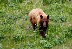 _MG_0895 (moosejaw2) Tags: blackbear yellowstonebear
