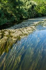Flowering river (The Adventurous Eye) Tags: water river blossom ranunculus bloom flowering watercrowfoot fluitans lakunk rheophyt vzplvav batrachion fluitantis