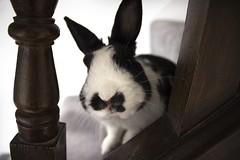 Bilbo 4 (jillallden) Tags: rabbit domestic house polish black white stairs banister home pet animal bunny