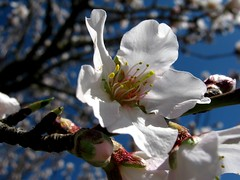 blooming almond (SS) Tags: above camera new pink blue light red sky italy brown sun white black flower macro tree green nature beautiful weather yellow composition contrast canon photography countryside spring colorful mood dof view purple angle wind bokeh pov walk branches year perspective favorites powershot framing fiore bianco nero tone marche fabriano marrone celeste blooming natureselegantshots a480 fleursetpaysages lelitedespaysages