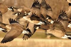 2012 Canada Geese In Flight 2 (DrLensCap) Tags: park chicago canada bird robert harbor geese illinois flight goose il lincoln montrose fowl kramer in thegalaxy bestcapturesaoi elitegalleryaoi mygearandme mygearandmepremium mygearandmebronze
