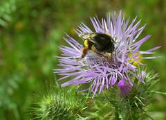 scorpaciata di polline (voyager7000) Tags: sardegna macro sardinia natura fiori prato insetti nuxis voyager7000