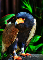 Bateleur Eagle (DSC_0033) (Schristia) Tags: bird animal fly singapore eagle beak feathers claw prey jurongbirdpark captive birdofprey bateleur bateleureagle
