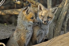 red fox kits, sault ste. marie, ontario (twurdemann) Tags: ontario canada animal fauna mammal spring wildlife den siblings kit foxes saultstemarie vulpesvulpes canidae saultcanal