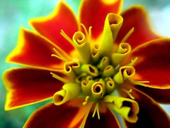 tagetes (SS) Tags: camera light red italy orange black flower macro verde green nature beautiful yellow composition contrast canon garden photography countryside focus colorful soft mood dof view angle bokeh pov perspective meadow favorites front powershot september burning shade framing fiore nero tone comments lazio tagetes natureselegantshots a480 fleursetpaysages