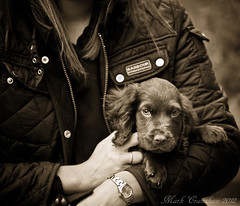 Cute (Seen in Explore 162) (Mark Crawshaw) Tags: blackandwhite cute puppy hands pup cockerspaniel gundog workingcocker rolexwatch barbourjacket canon5dmarkii barbourinternational markcrawshaw