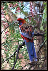 Eastern Rosella......(Explored) (Jak 45) Tags: thechallengefactory