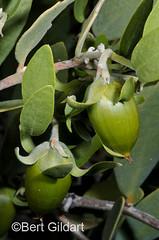 CactusWren-2
