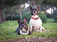13/52 Strobist bulldog (Xisco Bibiloni) Tags: nikon flash bulldog nikkor reflector 2012 iluminacion week13 2470mm d90 bulldogfrances strobist yn565ex 522012 52weeksthe2012edition weekofmarch25