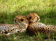 Sibling bonding. (Nitin's Photography) Tags: nature kenya wildlife cheetah spotted sibling nakuru bonding vulnerable specanimal colorphotoaward kenyacompactsony