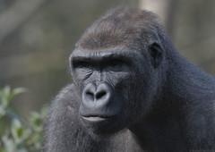 Lowland gorilla 'Kiondu' (gentle lemur) Tags: gorilla paigntonzoo kiondu
